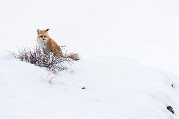 Rotfuchs ( Vulpes vulpes ) auf einem Hügel im Schnee von wunderbare Erde