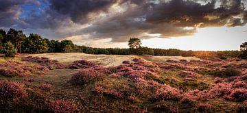 Blühendes Heidekraut - Drouwenerzand von Frans Plat