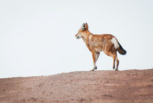 Eenzame wolf van Merijn Ruijter