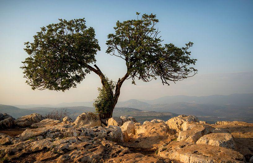 Olijfboom op de berg Arbel van Fotografie door Menno