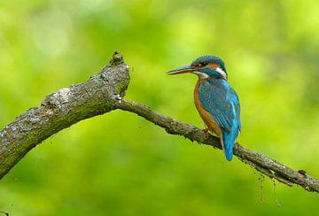 IJsvogel in de schaduw sur Remco Van Daalen