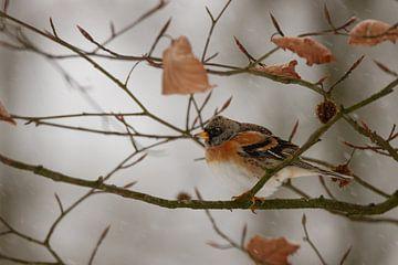 Hänfling im Winter von Antoine Deleij