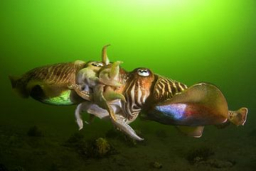 Mating cuttlefish von Filip Staes