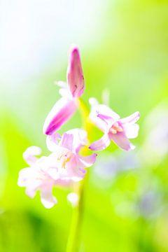 Wilde Hyacint sur Sjoerd van der Wal