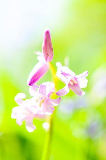 Wilde Hyacint van Sjoerd van der Wal