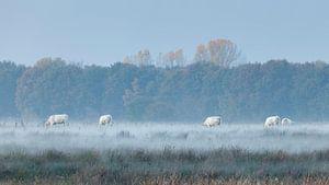 Witte koeien in mistige velden
