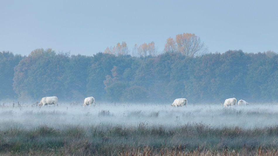 Witte koeien in mistige velden van Karla Leeftink
