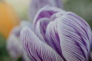 Nahaufnahme eines violett-weißen Krokus von Gerrit Veldman