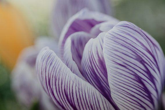 Gros plan d'un crocus blanc-violet