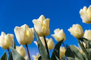 Witte tulp van Elly Damen