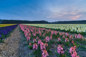 Kleurrijk bloemenveld in de bollenstreek