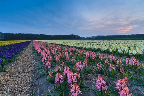 Kleurrijk bloemenveld in de bollenstreek van