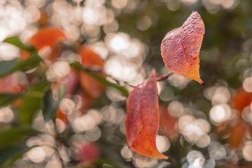 Rotes Herbstlaub für einen funkelnden Hintergrund von Michel Seelen