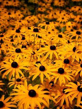 Gelber Sonnenhut von Patruschka Hetterschij