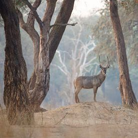 Waterbok in magisch bos van Anja Brouwer