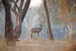 Waterbok in magisch bos van