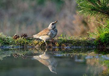 Kramsvogel van Ruud Scherpenisse