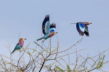 Scharrelaar vliegt weg in Serengeti, Tanzania von Arjan Warmerdam
