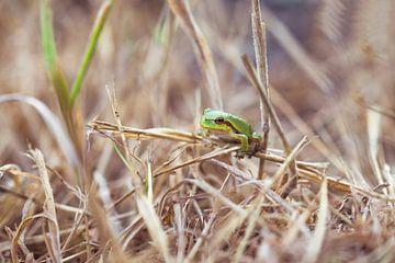 boomkikker in dor gras van