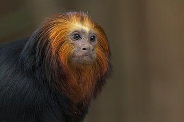 Goudkopleeuwaapje (Leontopithecus chrysomelas)