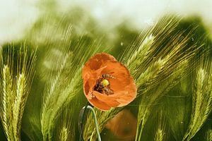 Rode papavers in het graan