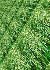 Grünblättriger Bambus
