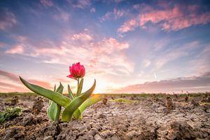 Tulp zonsondergang van