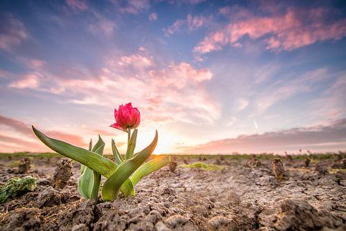 Tulp zonsondergang van Diana de Vries