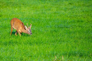 Am Morgen können Sie Rehe auf den Feldern sehen von Matthias Korn