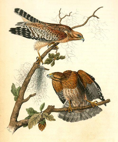 Buizerd, Red-shouldered Buzzard., Audubon, John James, 1785-1851 van Liszt Collection