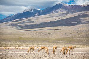 Lama's van