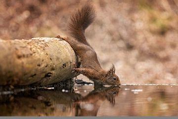 Eekhoorn neemt een slokje water van gea strucks