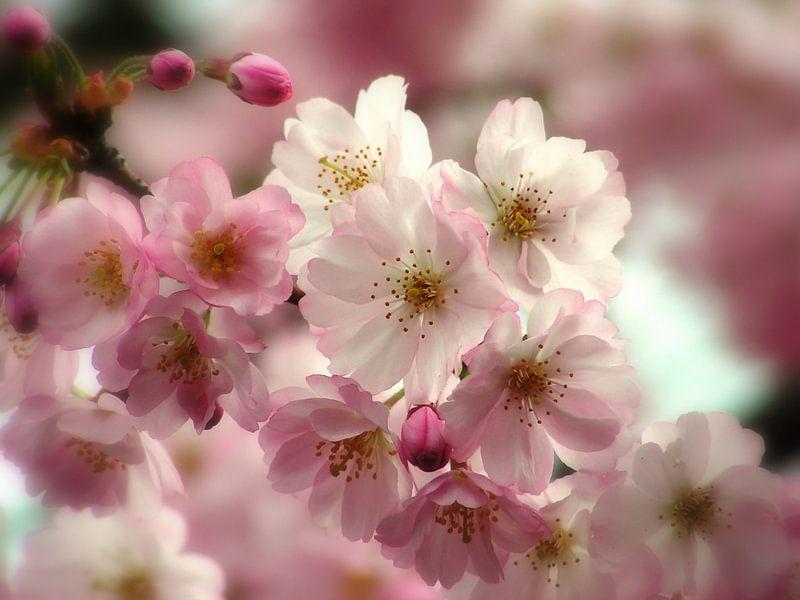 Kersenbloesem van Renate Knapp