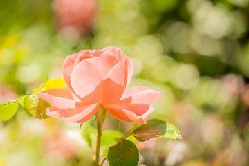 Rosa Rose von Jeroen Mikkers