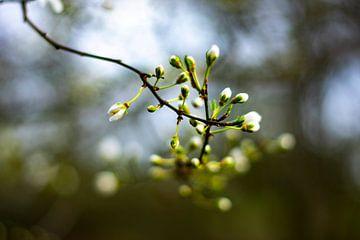 Blühendes Holz von Silvia Rikmanspoel