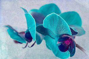 gevlekte orchidee, turquoise van