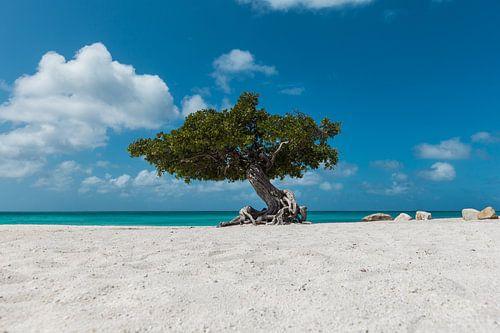 De bekende Divi Divi Boom op Eagle Beach  in Aruba van Aruba Paradise Photos