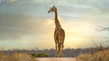 Giraffe (Giraffidae)
