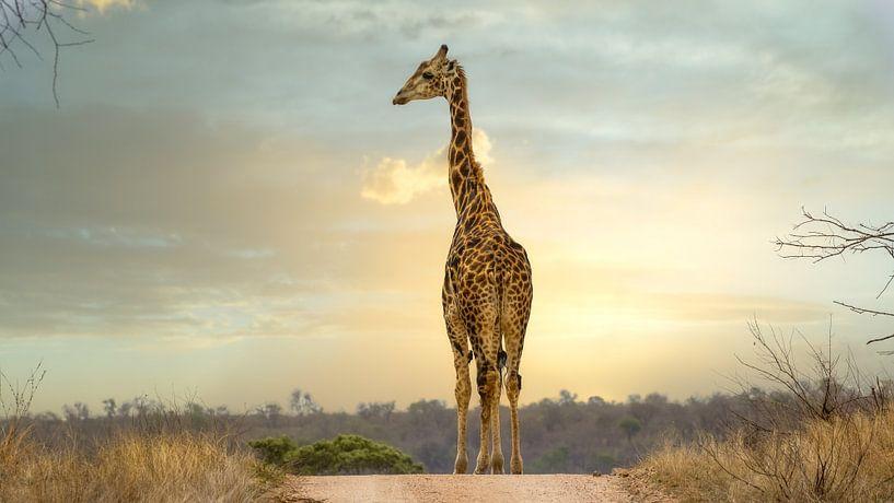 Giraffe (Giraffidae) van Anton van Beek