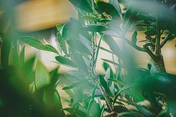 Olijfboom in close-up van Daphne Groeneveld