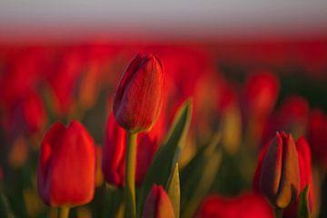 Tulpenfeld mit roten Tulpen von Flowers by t.ART