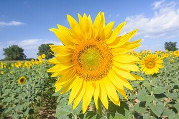 Bienen auf dem Gebiet voller Sonnenblumen von Michel Geluk