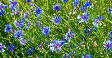 Korenbloemen in de wind van Kirsten Warner