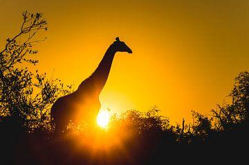 Schattenbild der Giraffe bei Sonnenuntergang von Davy Vernaillen