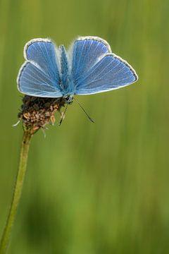 Icarus blauwtje op de uitkijk van