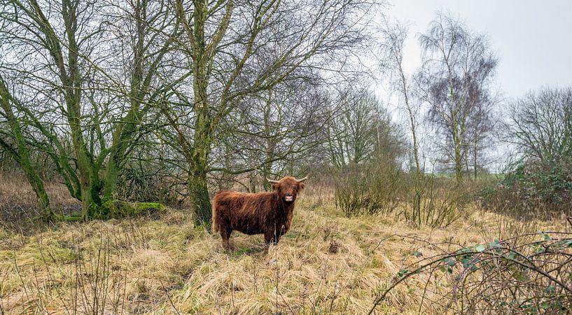 Schotse Hooglander in een natuurgebied van Ruud Morijn
