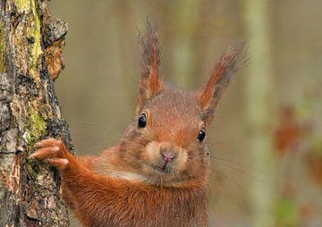 Eichhörnchen von Ruud Scherpenisse