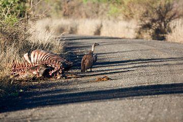 Gier bij een leeg gevreten karkas in Zuid Afrika van