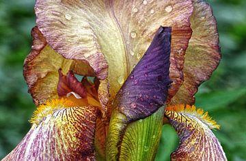 Iris With Raindrops van Ralf Schroeer