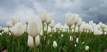 Tulpen von Karin Tebes
